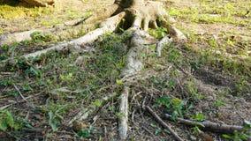 Drzewo korzeniowa cecha obraz royalty free