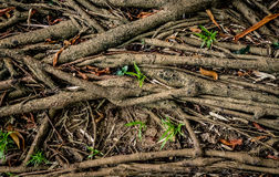 Drzewo korzeniowa sieć Obrazy Royalty Free