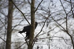 drzewo kruków Zdjęcia Royalty Free
