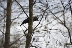 drzewo kruków Obraz Royalty Free
