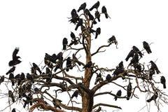 Drzewo który nagabuje kruki obraz royalty free