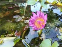 Drzewo kwiatu lotosowy beautyful w ogródzie Zdjęcie Royalty Free