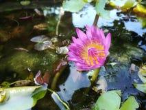 Drzewo kwiatu lotosowy beautyful w ogródzie Obraz Royalty Free