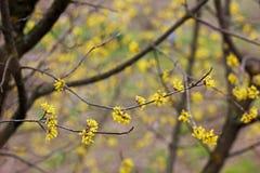 Drzewo kwitnie dereń obraz royalty free