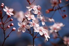 Drzewo kwitnie w wiośnie Obraz Stock