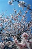 Drzewo kwitnie w wiośnie zdjęcia stock