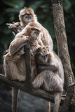 Drzewo małpa na drzewie Obrazy Royalty Free