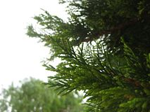 Drzewo makro- Grecja Obrazy Stock