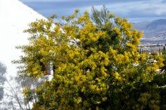 Drzewo mimozy Obrazy Stock