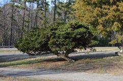 Drzewo na żwiru podjeździe w wiejskim Virginia Fotografia Stock