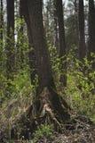 Drzewo na bagnie Fotografia Stock