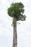 Drzewo na biały tle Obraz Royalty Free