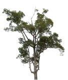 Drzewo na białym tle Fotografia Stock