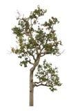 Drzewo na białym tle Obrazy Royalty Free