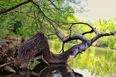 Drzewo na Jeziorze obrazy royalty free