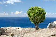 Drzewo na ocean falezie Obrazy Royalty Free