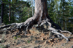 Drzewo na skale fotografia royalty free