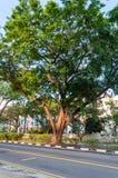 Drzewo na ulicznej wyspie Fotografia Royalty Free