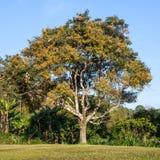 Drzewo na zieleni polu Zdjęcie Royalty Free
