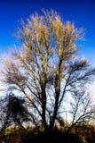 Drzewo na zima ranku Obraz Royalty Free