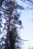 Drzewo nakrywa niebo Obrazy Royalty Free