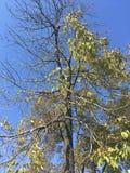 Drzewo, niebieskie niebo Obraz Royalty Free