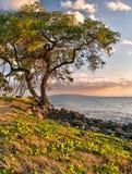 Drzewo oceanem w Hawajskim zmierzchu Zdjęcia Royalty Free