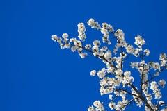drzewo oddziału Zdjęcia Royalty Free