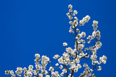 drzewo oddziału Obrazy Royalty Free