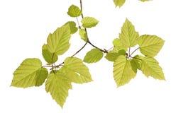 drzewo oddziału Fotografia Stock
