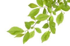 drzewo oddziału Obraz Stock