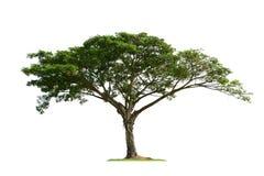 Drzewo odizolowywający zdjęcia stock