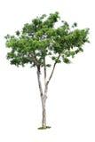 Drzewo odizolowywający Zdjęcia Royalty Free