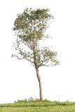 Drzewo odizolowywający Obrazy Royalty Free