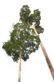 Drzewo odizolowywający Obrazy Stock