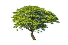 Drzewo odizolowywający na czystym Zdjęcia Royalty Free