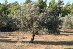 Drzewo oliwne Obraz Royalty Free