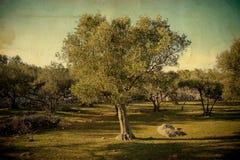 drzewo oliwne royalty ilustracja