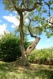drzewo oliwne Obrazy Royalty Free