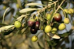 drzewo oliwne Obrazy Stock