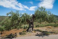 Drzewo oliwne, approx 1000 lat albo nawet więcej Drzewo oliwne plantacja w Andalucia, Andalusia Hiszpania europejczycy fotografia stock