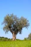 drzewo oliwne banatka Obrazy Royalty Free