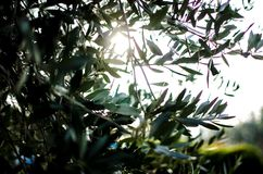 Drzewo oliwne gałąź zdjęcie stock