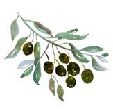Drzewo oliwne gałąź na białej tło ilustraci Fotografia Royalty Free
