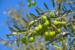 Drzewo oliwne, gałąź z zieleń liśćmi i oliwki na tle niebieskie niebo, Obraz Stock