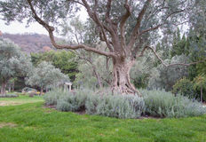 Drzewo oliwne i lawenda na zielonym gazonie w egzotycznym parku Zdjęcia Stock