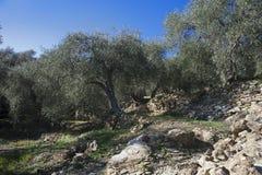 Drzewo oliwne i zakończenie up oliwki, ligurian oliwki imię Zdjęcie Royalty Free