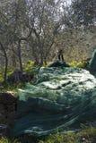Drzewo oliwne i zakończenie up oliwki, ligurian oliwki imię Obraz Royalty Free