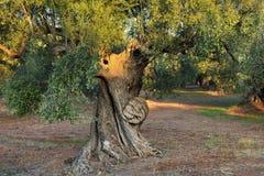 Drzewo oliwne, Kalamata, Grecja Zdjęcia Stock