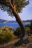 Drzewo Oliwne, Kasa, Turcja zdjęcie stock
